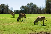 foto of eland  - Common Eland grazing in a grassed area of an Australian Zoo - JPG