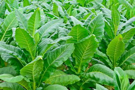 picture of tobaco leaf  - close - JPG