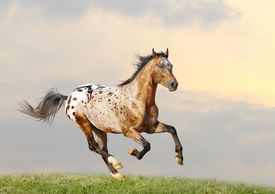 pic of appaloosa  - an appaloosa stallion running in a sunset