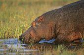 picture of hippopotamus  - Hippopotamus  - JPG