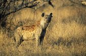 picture of hyenas  - Spotted Hyena  - JPG