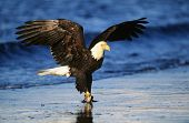 image of fish-eagle  - Bald Eagle catching fish in river - JPG