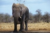 pic of squirting  - African Elephant  - JPG