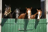 stock photo of herd  - Purebred horses at a green barn door