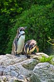 picture of schoenbrunn  - Humboldt penguin at Schoenbrunn park Zoo in Vienna - JPG