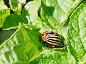 picture of potato bug  - ten - JPG