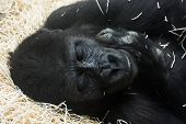 stock photo of lowlands  - Western lowland gorilla  - JPG