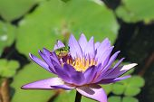 pic of water lilies  - Water Lily flower and frog - JPG