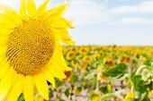 pic of photosynthesis  - sunflowers in the foreground of saturated color - JPG
