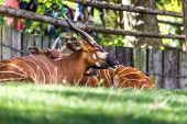 stock photo of bongo  - Bongo Taurotragus euryceros isaaci Antilope in zoo - JPG