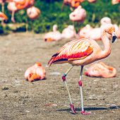 stock photo of pink flamingos  - The pink Caribbean flamingo ( Phoenicopterus ruber ruber ) goes on water. Pink flamingo goes on a swamp.