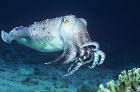 stock photo of cuttlefish  - Cuttlefish - JPG