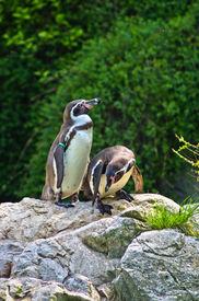 image of schoenbrunn  - Humboldt penguin at Schoenbrunn park Zoo in Vienna - JPG
