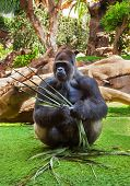 image of marmosets  - Gorilla monkey in park  - JPG