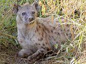 pic of hyenas  - A spotted hyena Crocuta crocuta sitting in the vegetation in Serengeti National Park Tanzania - JPG