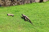 picture of monitor lizard  - Bengal monitor lizard goes on the green grass - JPG