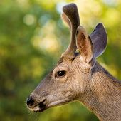 picture of black tail deer  - Closeup profile portrait of a wild male black - JPG