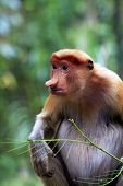 picture of southeast asian  - Proboscis Monkeys Nasalis larvatus or long - JPG