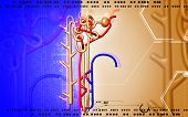 picture of endocrine  - Digital illustration of  nephron   in  colour background - JPG