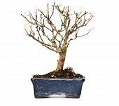 pic of bonsai  - Bare bonsai tree isolated on a white background - JPG