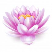foto of white lily  - Beautiful pink water lily or lotus flower isolated on white background - JPG