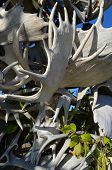 pic of antlers  - Grouping of Alaskan moose antlers outdoors with a bit of blue sky - JPG