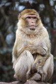 image of macaque  - Closeup of a Barbary Macaque (Macaca sylvanus) ** Note: Soft Focus at 100%, best at smaller sizes - JPG