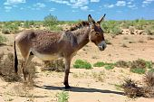 image of headstrong  - Wild donkey in the dessert  - JPG