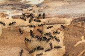 stock photo of ant  - Ant colony disperses after discovery under bark of pine tree firewood - JPG