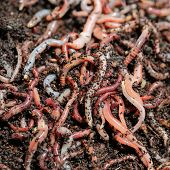 pic of worm  - Earth Worms  - JPG
