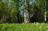 stock photo of cowslip  - Beautful garden with cowslip and forgetmenot wildflowers in the green grass at spring - JPG