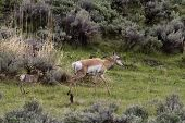 pic of sagebrush  - Pronghorn mother and baby in the prairie sagebrush. ** Note: Soft Focus at 100%, best at smaller sizes - JPG