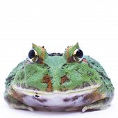 image of pacman frog  - Green Pacman frog on white background front facing - JPG