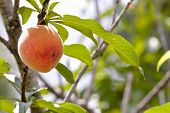 image of peach  - Bright and happy photo of a peach on a peach tree in spring - JPG