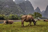 pic of bestiality  - Red shaggy cows grazing herd in the pasture near the Lijiang River Guilin in the spring green meadows and karst hills in the fog Guangxi Province southern China - JPG