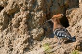 picture of common  - Common hoopoe  - JPG