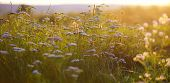 picture of parsnips  - cow parsnip at sunset - JPG