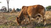image of pastures  - Cows on a summer pasture In the morning - JPG