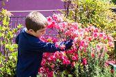 image of azalea  - child cleans bush of pink azaleas on the terrace - JPG