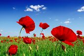 image of nubian  - red poppy and wild flowers - JPG