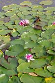 picture of day-lilies  - Water Lilies in sunlight on a warm spring day - JPG