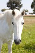 picture of beautiful horses  - White horse in the meadow with a beautiful blue sky - JPG