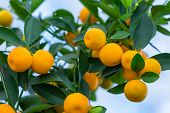 stock photo of orange-tree  - Orange tree with ripe fruits in sunlight. Horizontal shot