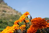 stock photo of marigold  - Marigold flowers are blooming in the garden - JPG