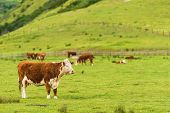 stock photo of pastures  - Cows on Green Pasture Farmland - JPG