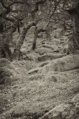 stock photo of contortion  - Stock image of pathways through old twisted gnarly trees and moss covered rocks in a toned black and white