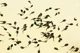 picture of tadpole  - Tadpoles in the lake - JPG