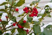 stock photo of winterberry  - Close - JPG