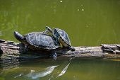 picture of copulation  - Two copulating turtles on a tree in water - JPG