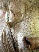 picture of charolais  - White Charolais bull with ring through nose - JPG